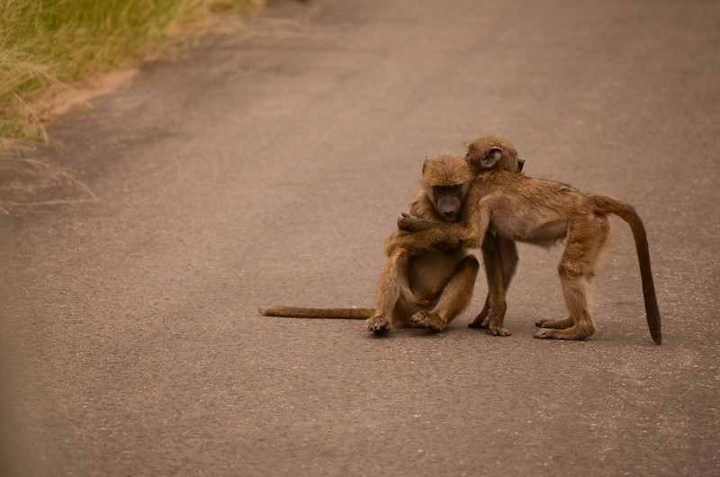 Chacma baboon babies playfighting in the road- Kruger