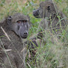 Chacma baboons - Kruger