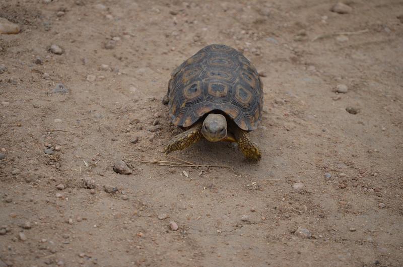 Sulcata tortoise- Kruger