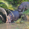 Hippos returning to the water- St Lucia Narrows