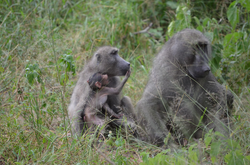 Chacma Baboon family- Kruger