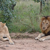 Courting Lions by the road- Kruger Park