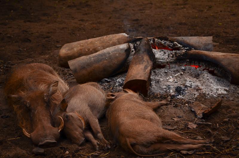 hog roast.... warthog family sleeping by the fire Mlilwale