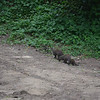 Banded mongoose Cape Vidal