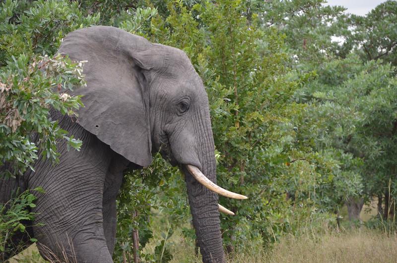 Kruger Elephant