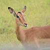 doe impala