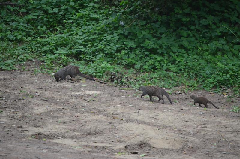 Banded mongoose Cape Vidal