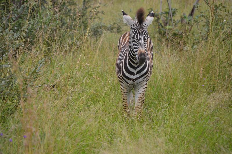 Zebra- Kruger