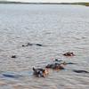 Hippos- st Lucia narrows