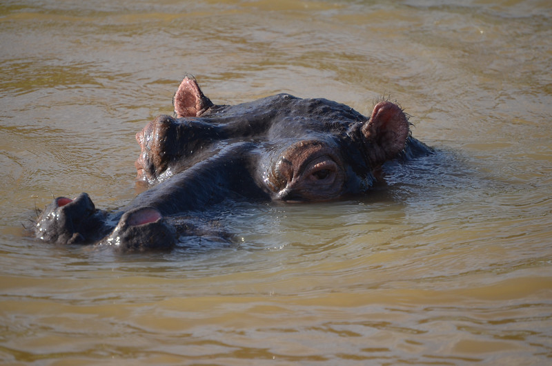 Hippo in St Lucia narrows