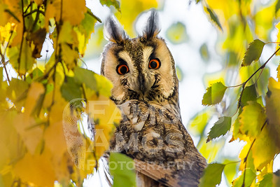 Owl-Long Eared Owl