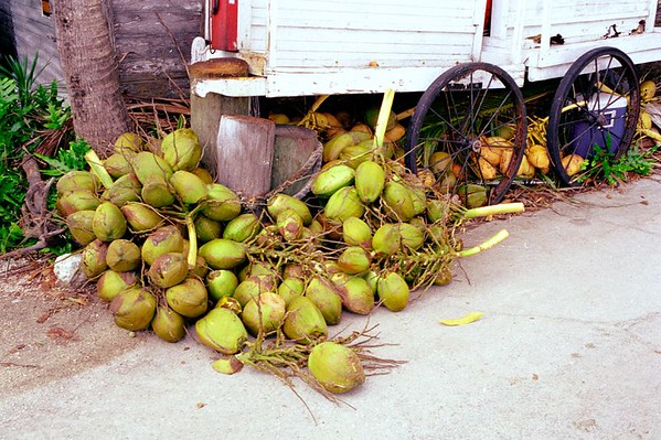 Coconuts in the Florida Keys