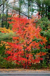 Scarborough Fall Foliage 001