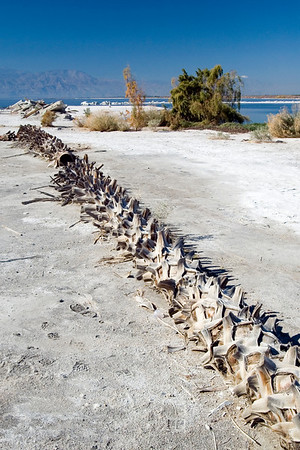 Lots of dead things can be found at the Salton Sea and this formerly proud palm tree is just one of them.