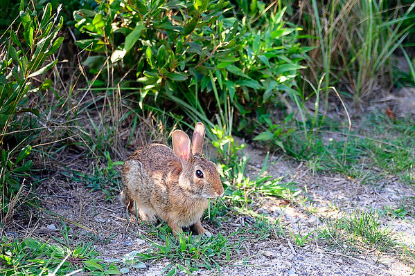 "One of the many ""Easter Bunnies"" who reside at the Bayard Cutting Arboretum in Great River, NY."