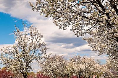 Flowering Dogwood Trees on Main Street in Babylon, NY