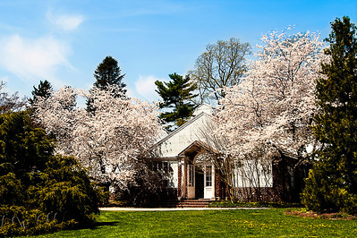 White flowering trees at Planting Fields Arboretum