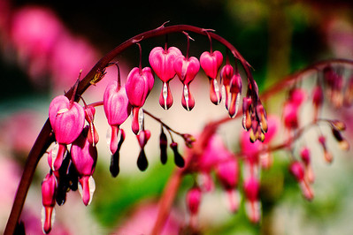 """""""Bleeding Hearts"""", found in a front yard in Holbrook, NY."""