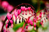 """Bleeding Hearts"", found in a front yard in Holbrook, NY."