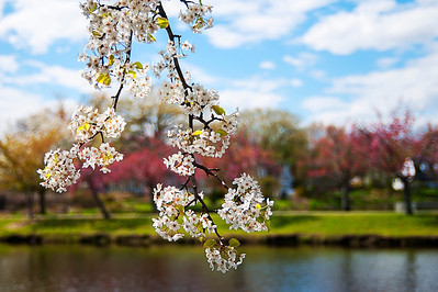 Flowering Dogwood Tree in Argyle Park, Babylon, NY