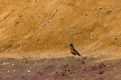 """First robin of spring"" seen one early April day at the Montauk Lighthouse"