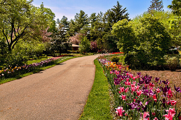 Tulip lined path, Clark Botanical Garden, Albertson, NY
