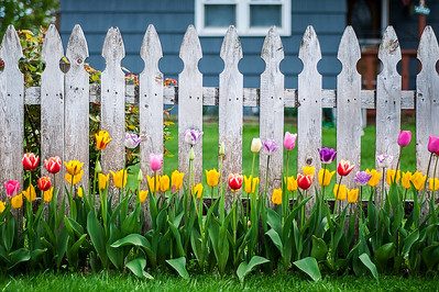Tulips against picket fence, Amity Harbor, NY