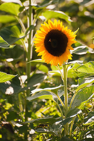 Northfork sunflower glowing in soft afternoon light