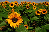Glowing sunflower fields peaking in July on Long Island's North Fork