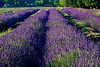 Beautiful lavender fields blossoming mid summer in East Marion