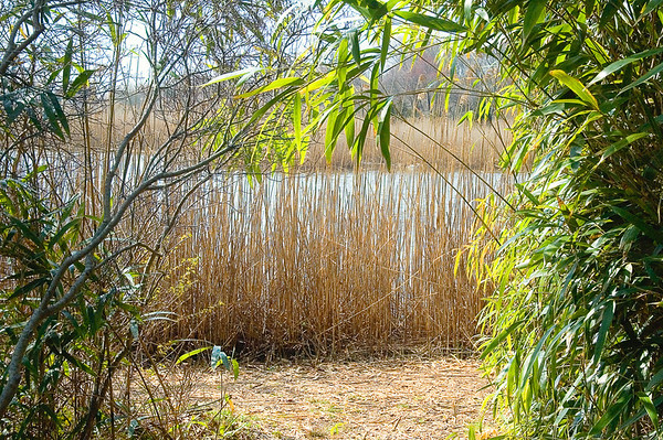 Reeds in early spring light at Bayard Cutting Arboretum