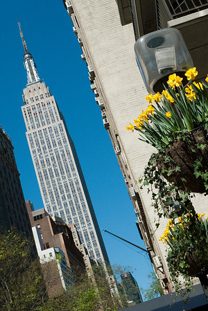 Empire State Buldking and spring daffodils, as seen from 34th Street just East of Park Avenue