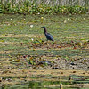 Green Heron, Rare sighting
