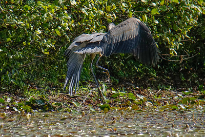 """Blue Heron """"Ouchie"""""""