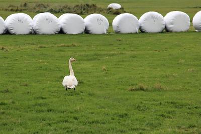 An Icelandic swan