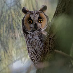 Long-eared owls of Mercey Hot Springs