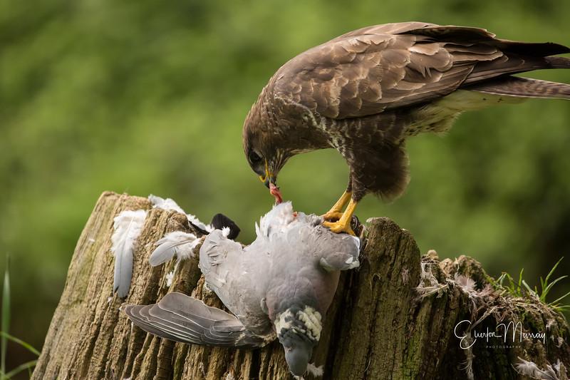 hungry buzzard