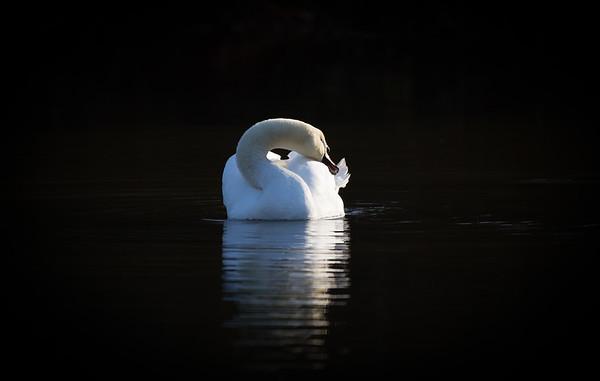 swan tranquillity