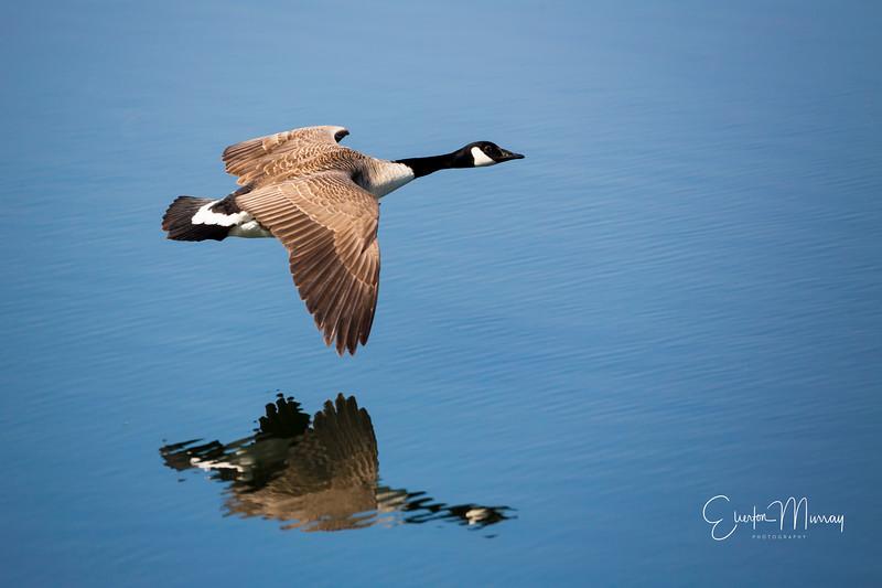 Lesser canada goose