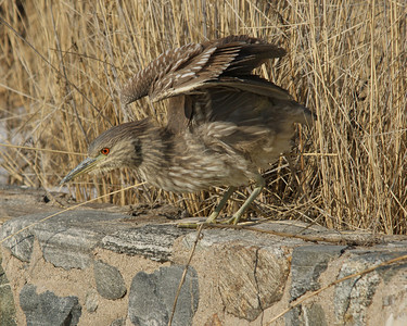 Black Crowned Night Heron Immature