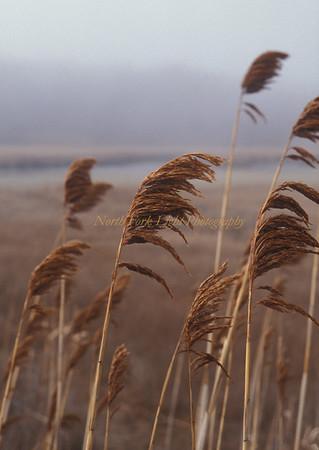 Phragmites in the breeze.