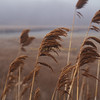 Phragmites in the breeze.