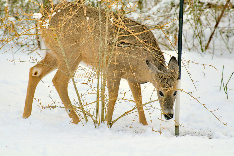 Deer looking for a few morsels of seed