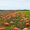 Pumpkins in farmfield