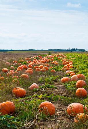Pumpkins in farmfield