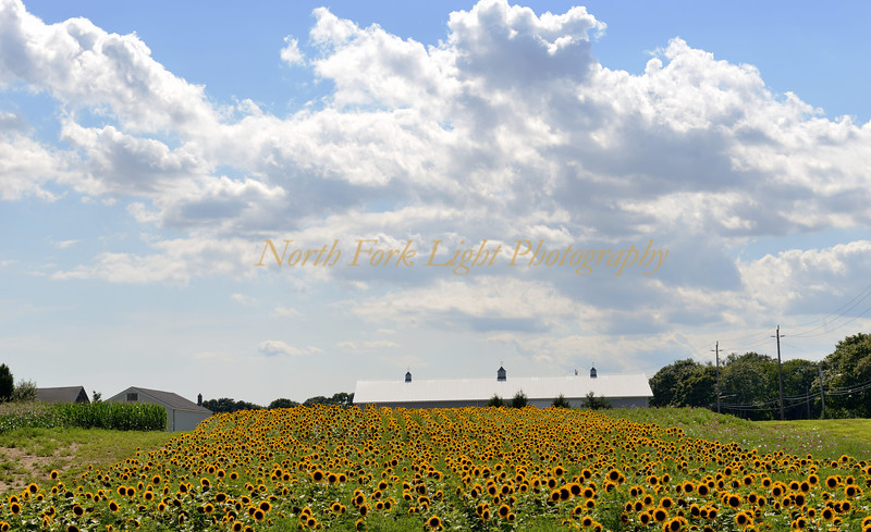 A legion of sunflowers