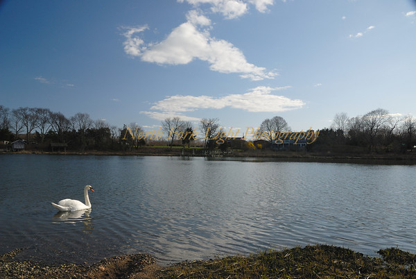 Swan waiting for spring