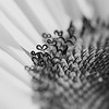 Heart of a Sunflower, Black and White