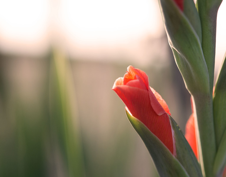 Flower Bud in Sunset