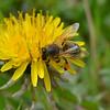 Pollen on a Bee